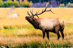 Bugling Elk. This image of a bugling Elk was captured in the Moraine Park area of Rocky Mountain National Park Royalty Free Stock Images