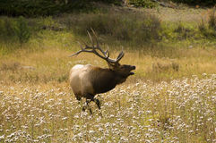 Bugling Elk in the Rocky Mountains Stock Image