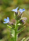 Bugloss Royalty Free Stock Photo