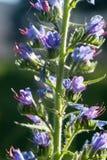 Bugloss bleu du ` s de vipère de wildflower Image libre de droits