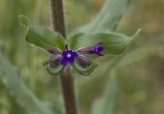 Bugloss comune immagine stock