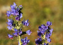 Bugloss de vipères, vulgare d'Echium, en île du Gotland, la Suède image libre de droits
