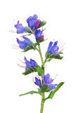 Bugloss della vipera (vulgare del Echium) Fotografie Stock