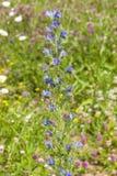 Bugloss du ` s de vipère ou blueweed, vulgare d'Echium, fleur au foyer sauvage, en gros plan, sélectif, DOF peu profond Photos libres de droits
