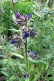 Bugloss o Alkanet común (officinalis del Anchusa) fotografía de archivo libre de regalías