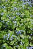 Bugloss sibérien images stock