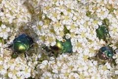 Bugs äter vitblommor Arkivfoto