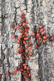 bugs красный цвет Стоковое фото RF