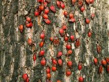 bugs красный цвет Стоковое Изображение RF
