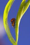 bugs любить повелительницы Стоковое Изображение
