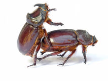 bugs секс Стоковая Фотография