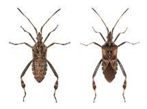 bugs семя conifer западное Стоковое Фото