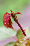 A bugs attacking a rose Stock Photos