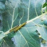 bugs cabage 2 Стоковая Фотография RF
