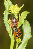 Bugs Eurydema ornata on green leaves. Close up Royalty Free Stock Images