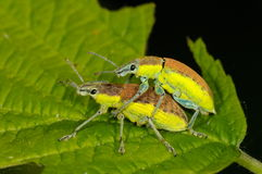 Bugs on green leaf Royalty Free Stock Photography