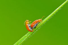 Bugs mating. Bugs hot mating on green leaf stock photography