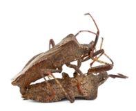 bugs ihopparning för coreusdockmarginatus Arkivfoton