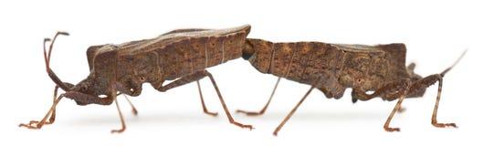 bugs ihopparning för coreusdockmarginatus Royaltyfri Bild