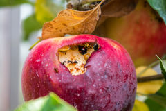 Bugs infested apple Stock Photo