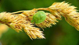 Bedbug on the stem of the grass stock photography