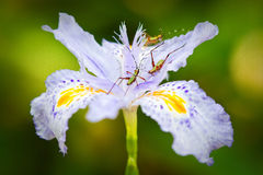 Bugs on Iris Royalty Free Stock Images