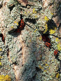 bugs kolonired Fotografering för Bildbyråer