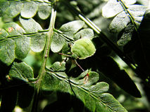 Bugs on the leaves of green Stock Photos