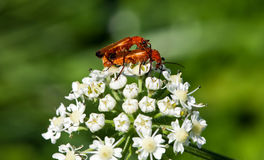 Bugs Love. This image shows two bugs in love stock photography