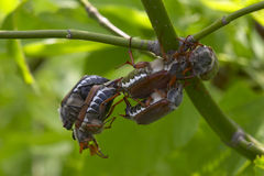 Bugs love Royalty Free Stock Photography