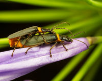 Bugs mating. Two bugs mating on a purple flower Stock Images
