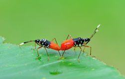 Bugs mating. Spotted bugs mating on the leaf royalty free stock images