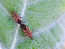 Bugs mating Royalty Free Stock Photo