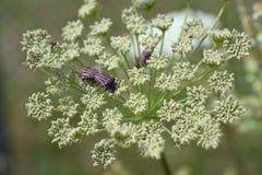 Bugs mating Royalty Free Stock Image