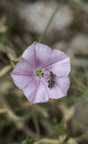 Bugs on a pink flower Royalty Free Stock Photos