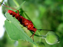 bugs red Arkivfoto
