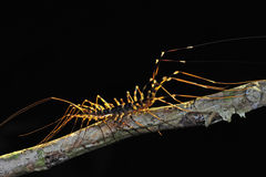 Bugs stay on branches. Night macro, bug resting on branches stock images