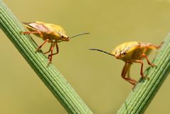 Bugs on stem Royalty Free Stock Image