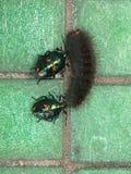 Bugs versus caterpillar Stock Photos