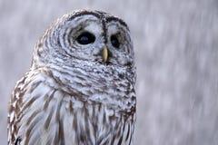 Buho barrado en nieve Imagen de archivo libre de regalías