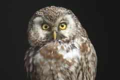 Buho boreal Imagen de archivo libre de regalías