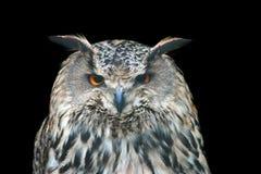 Buho de águila Foto de archivo libre de regalías