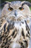 Buho de águila Foto de archivo