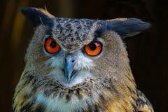 Buho de águila 2 Imagen de archivo libre de regalías