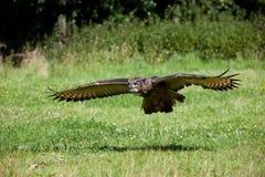 Buho de águila (bubón del bubón) Foto de archivo