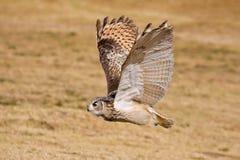Buho de águila del cabo Fotografía de archivo