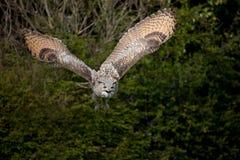 Buho de águila del vuelo Imágenes de archivo libres de regalías