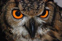 Buho de águila eurasiático Imágenes de archivo libres de regalías