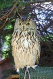 Buho de águila eurasiático fotos de archivo libres de regalías