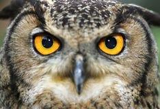 Buho de águila eurasiático Foto de archivo libre de regalías